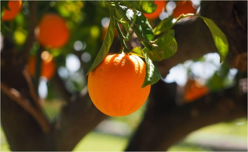 宜昌柑橘迎小年,产量预计同比减少10.8%