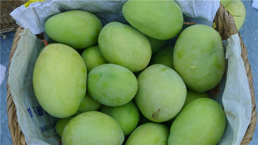 印度芒果4毛一公斤无人问津,大量烂在地里或丢弃路边