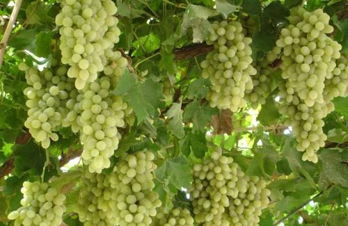 南非葡萄产量有望超出预估