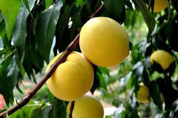 今年首批1990公斤炎陵黄桃销往澳门
