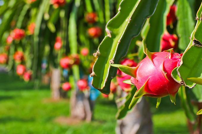 今年越南果蔬出口额有望达到40亿美元,中国仍是最大出口市场