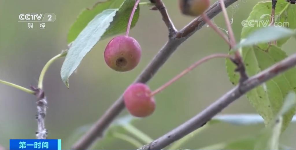 """樱桃大的苹果一口吃一把!西伯利亚种出""""侏儒苹果树"""""""